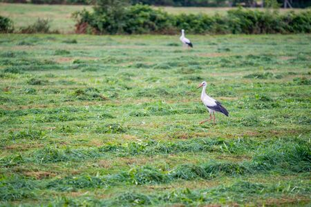 Stork  is collecting food in a field Standard-Bild - 129265844