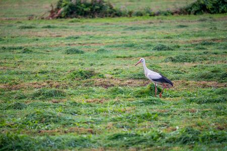Stork  is collecting food in a field Standard-Bild - 129265853