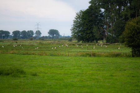 Storks  gather food on a freshly cut field