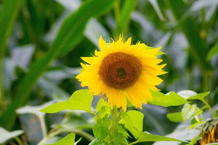 shining  sunflowers in focus with green background Archivio Fotografico - 129264517