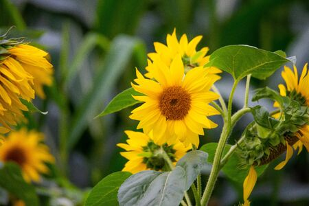 shining  sunflowers in focus with green background Archivio Fotografico - 129264519