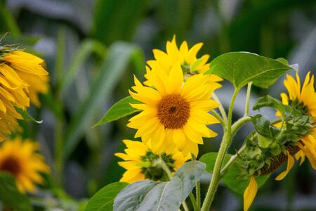 shining  sunflowers in focus with green background Archivio Fotografico - 129264518