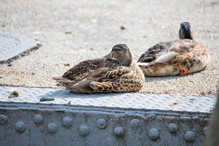 Ducks  frolic at the Weser in Bremen Germany Reklamní fotografie