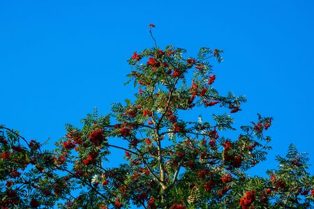 Glowing  berries on a tree with blue background Stok Fotoğraf