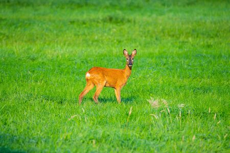 in  the morning you can see deer in the fields