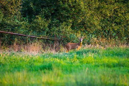 in the  evening you can see deer in the fields Zdjęcie Seryjne