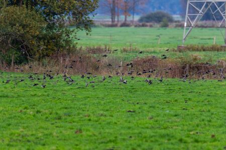 A  swarm of small birds briefly flies across a field and lands again at short intervals Stock fotó