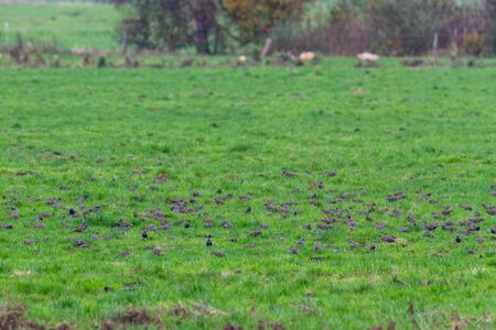 A  swarm of small birds briefly flies across a field and lands again at short intervals Archivio Fotografico
