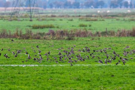 A  swarm of small birds briefly flies across a field and lands again at short intervals Stockfoto