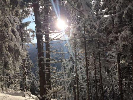 A sun in the middle of trees covered in snow in winter in Sněžka, Krkonoše, Czech republic
