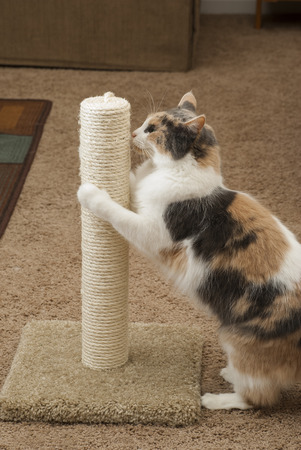 scratches: Cat using Scratching post