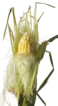being: Corn Stalk being peeled Stock Photo