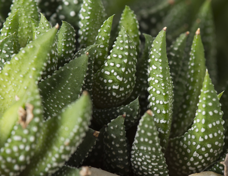 wart: Closeup of the haworthia reinwardtii succulent plant, also known as zebra wart
