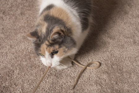 muted: An adult domesticated muted calico cat playing with a string. Stock Photo