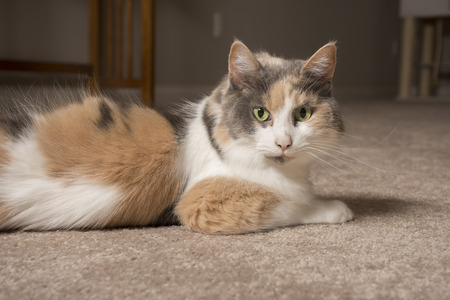An adult domesticated muted calico cat laying on carpet. Stock Photo