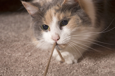 dilated pupils: An adult domesticated muted calico cat playing with a string. Stock Photo