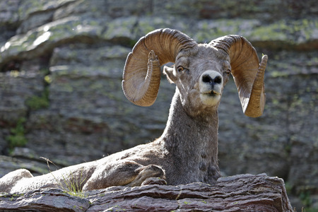 bighorn sheep: A Bighorn Sheep resting on a stone ledge. Taken in Glacier National Park, Montana, United States.