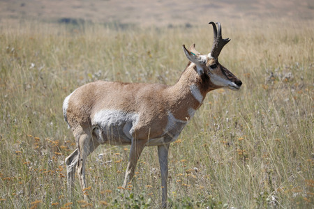 A Pronghorn Antelope in a field.