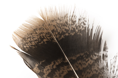 A brown turkey feather on white. 版權商用圖片