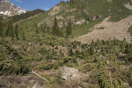 Avalanche Damage showing fallen pine trees on the Crater Lake Trail in Colorado near Maroon Bells. Banco de Imagens