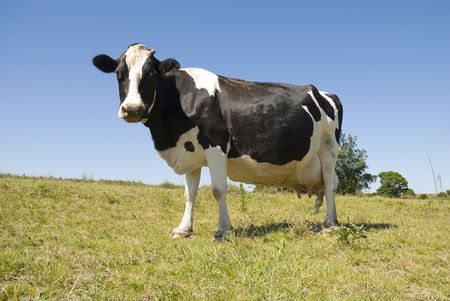 Full body image of a pregnant cow in green pasture and blue sky. Stock Photo