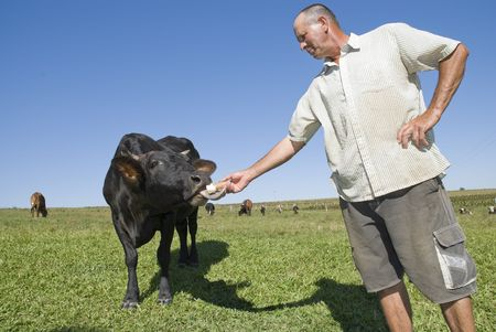Wide angle image of a dairy farmer feeding black cow with a cassava (tapioca) root.