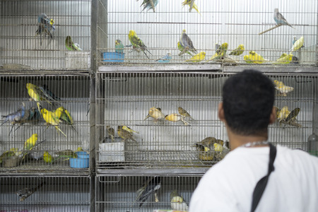 BELO HORIZONTE, BRAZIL - JULY  28: People looking at caged birds in market. Parakeets, a popular pet in Brazil, are kept in stressful conditions until they are sold. July 28, 2014 in Belo Horizonte.