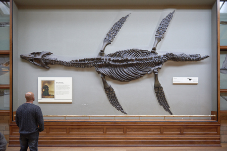 natural history museum: LONDON, UK - DECEMBER 11: Visitor looking at pliosaur fossilised skeleton at the Natural History Museum. December 11, 2014 in London. Editorial