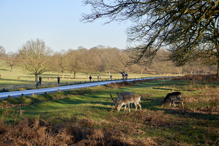 Fallow deer eating in autumnal Richmond Park in London by the road. Stock Photo