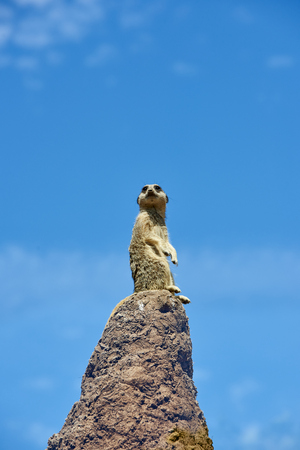 lookout: Single meerkat on the look-out on top of rock. Blue sky in the background.
