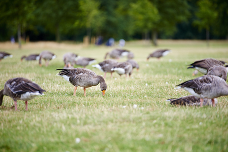 greylag: Group of greylag geese (Anser anser) foraging in the grass in park. Stock Photo