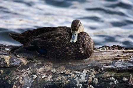 Wild duck Stock fotó