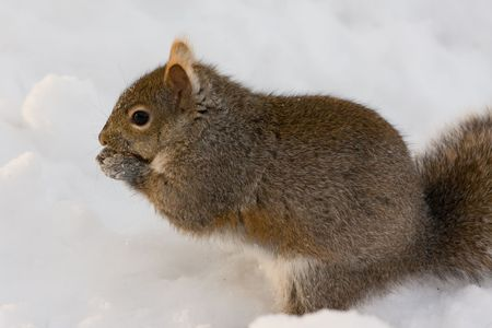 a cute squirrel is eating in the snow field Stock Photo - 4016070