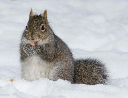 a cute squirrel is eating in the snow field Stock Photo - 4016071