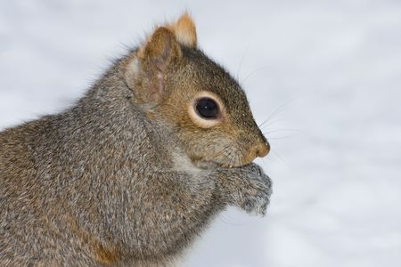 a cute squirrel is eating in the snow field photo