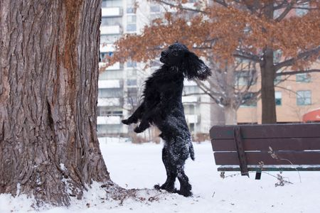 a lively black dog is playing after snow