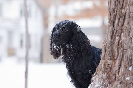 a lively black dog is watching behind the tree
