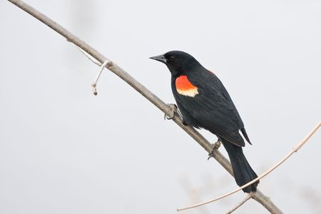 a North America Red-winged blackbird Stock Photo - 4788290