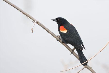 a North America Red-winged blackbird photo