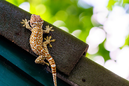 tokay gecko: Gecko Tokay in Thailand, Gecko laying on the dark roof with green wall and green bokeh background.