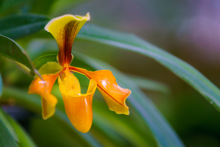 ladys: Ladys slipper orchid. Paphiopedilum Callosum  in the garden at Khunwang Royal Project Foundation, Chiang Mai Thailand