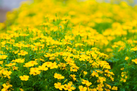 Yellow flowers at Khunwang Royal Project Foundation, Chiang Mai Thailand Banco de Imagens