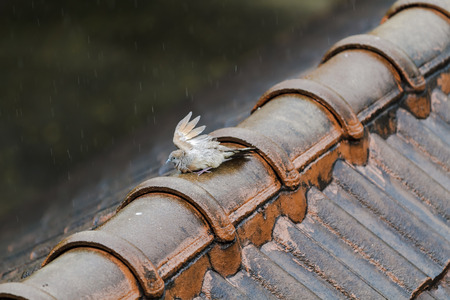 Wet Pigeon playing the rain on the old roof on a rainy day. Stock Photo