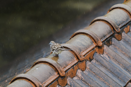 Wet Pigeon on the old roof on a rainy day.