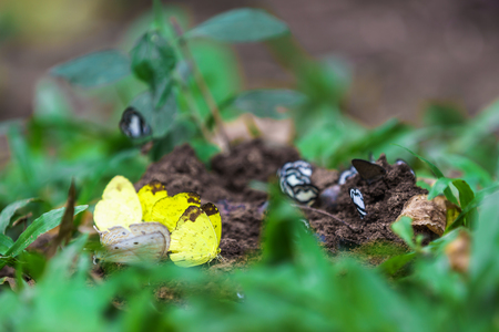 yellow butterflies eat the minerals in the salt marsh. Stock Photo