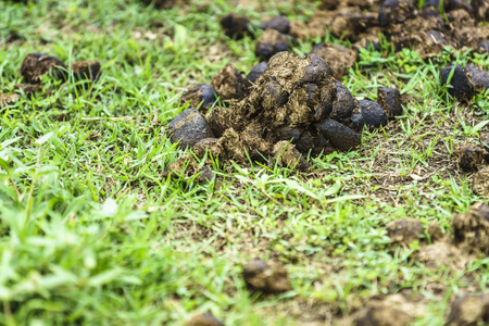 Close-up shot of feces of a horse on a green grass background.  Stock Photo
