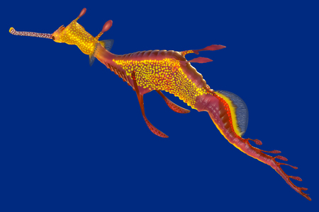 3d rendering of a Weedy seadragon, the ocean creature at Australia and Tasmania island, isolated on blue background with clipping paths. Banco de Imagens