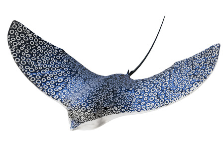 3d rendering close-up shot of  The Spotted eagle ray isolated on white background with clipping paths.