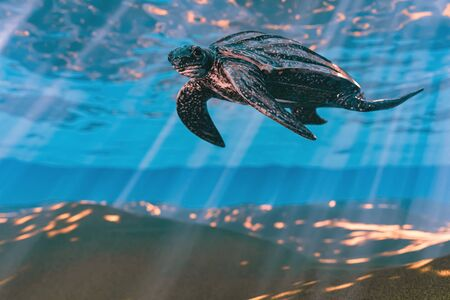 3d rendering of Leatherback sea turtle swimming in the shallow water Standard-Bild