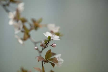 prunus: Prunus salicina bud